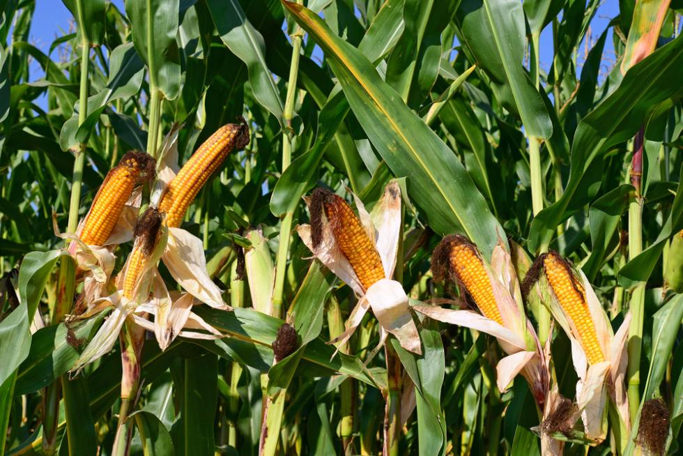 Uprawa kukurydzy na ziarno. Jakie gatunki wybrać? Jak nawozić uprawę?
