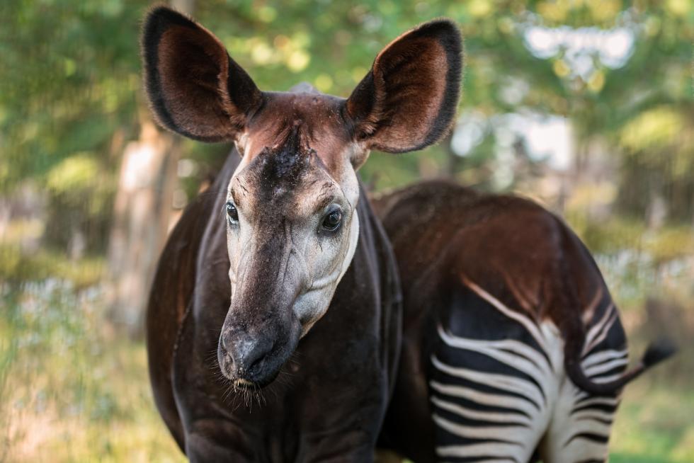Oddaj telefon – ocal okapi
